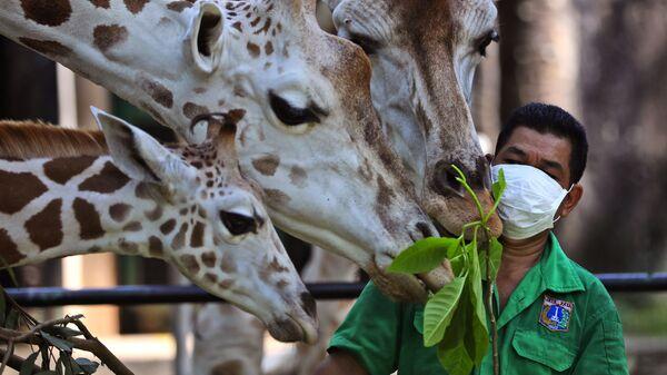 Работник зоопарка во время кормления жирафов в Джакарте, Индонезия  - Sputnik Таджикистан