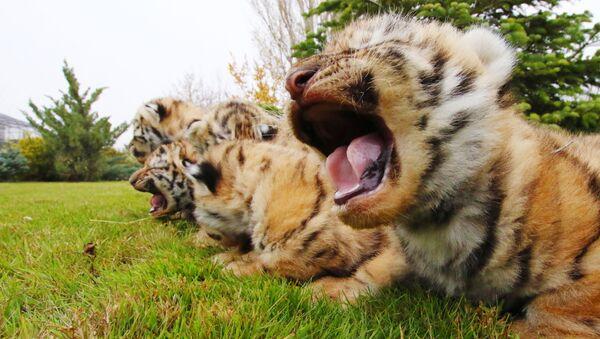 Новорожденные амурские тигрята в сафари-парке Тайган в Крыму - Sputnik Таджикистан