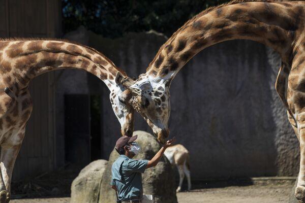 Кипер кормит жирафов в La Aurora Zoo в Гватемале - Sputnik Таджикистан
