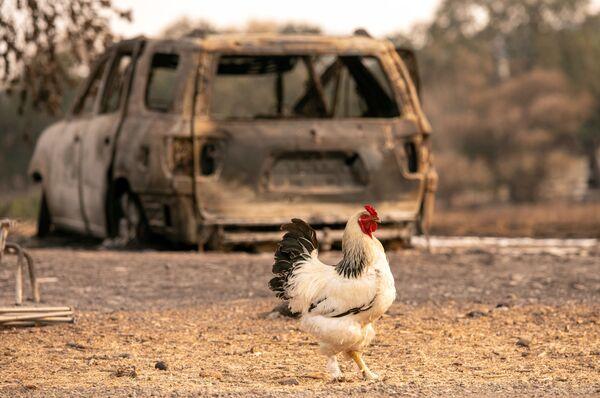 Петух у сгоревшего автомобиля в Вакавилле, Калифорния  - Sputnik Таджикистан