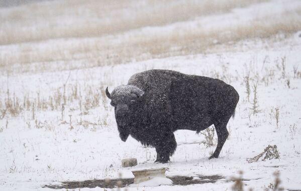 Одинокий бизон под снегом в Эвергрине, штат Колорадо - Sputnik Таджикистан