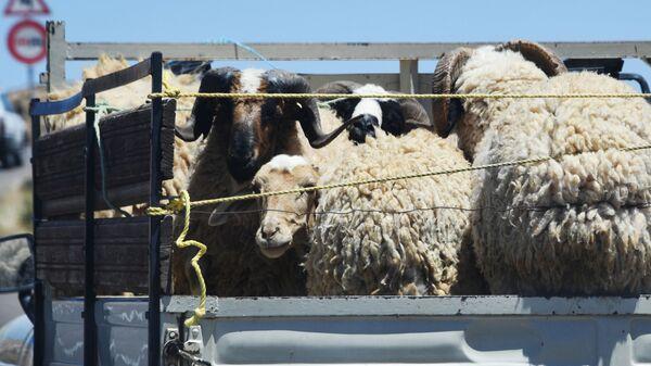 Бараны и овцы в кузове грузовика - Sputnik Таджикистан