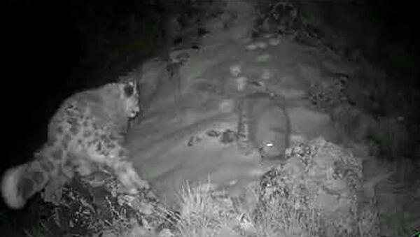 Самка снежного барса с котятами в заповеднике Саяно-Шушенский. - YouTube - Sputnik Таджикистан
