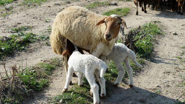 Пастбище овец  - Sputnik Таджикистан