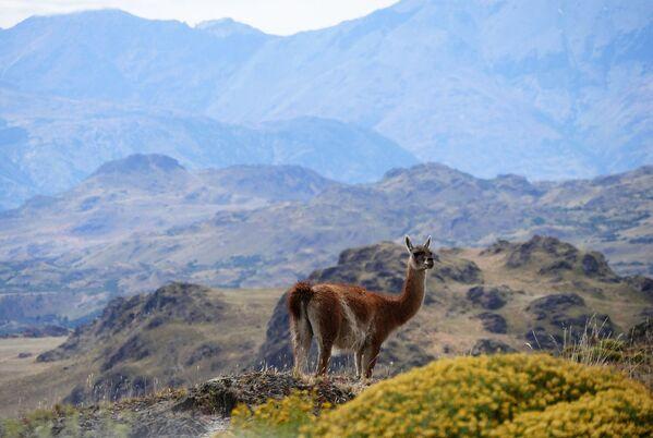 Альпака в горах Патагонии в Чили - обладатель звания World's Leading Green Destination 2020  - Sputnik Таджикистан