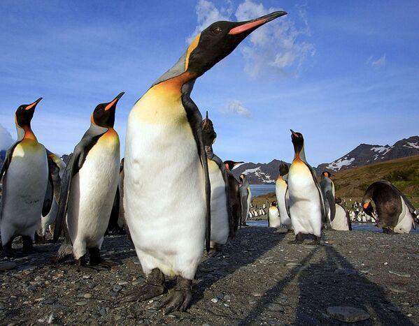 Пингвины на острове Южная Джорджия  - Sputnik Таджикистан
