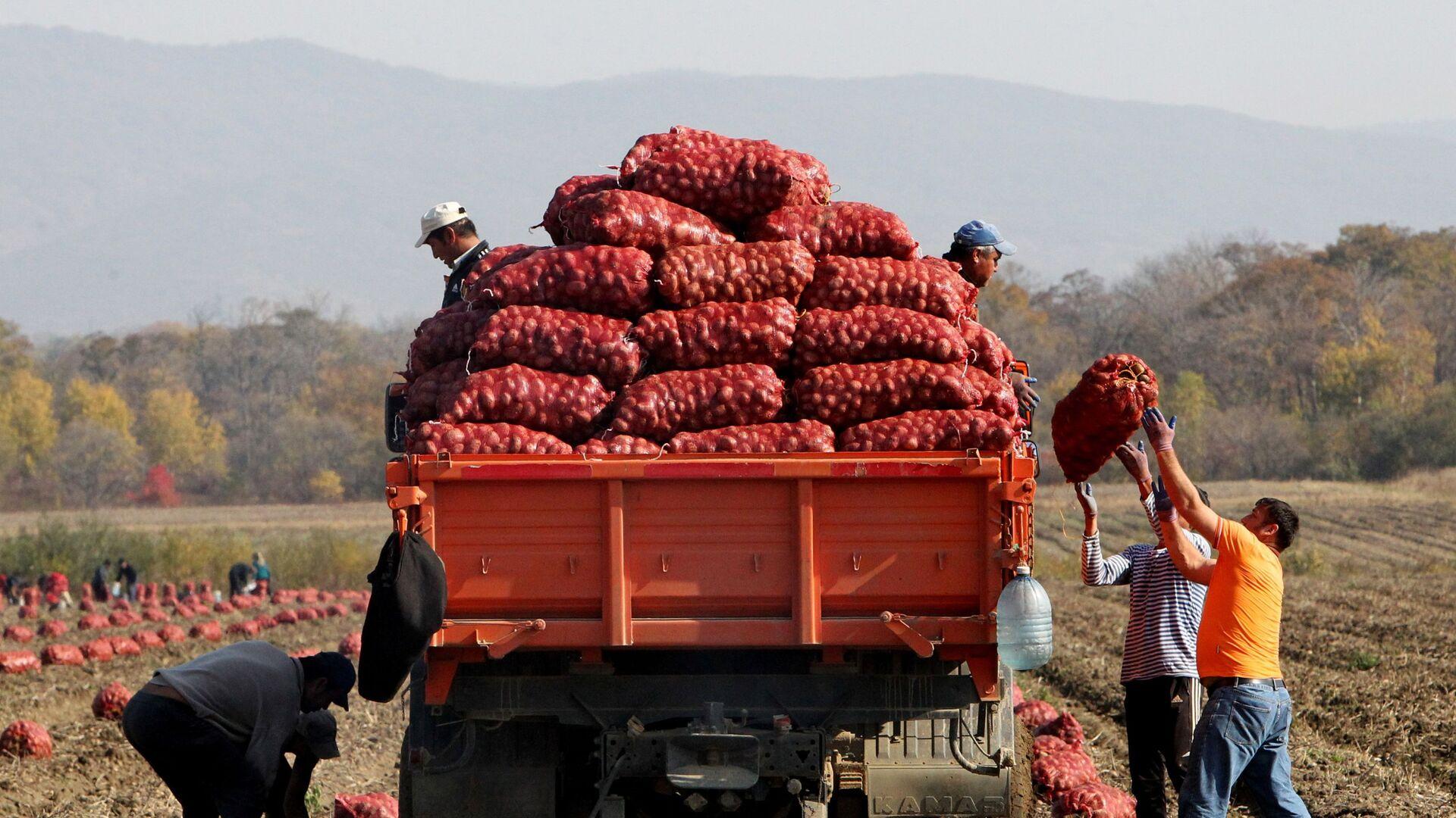 Сбор овощей в фермерском хозяйстве  - Sputnik Таджикистан, 1920, 30.03.2021