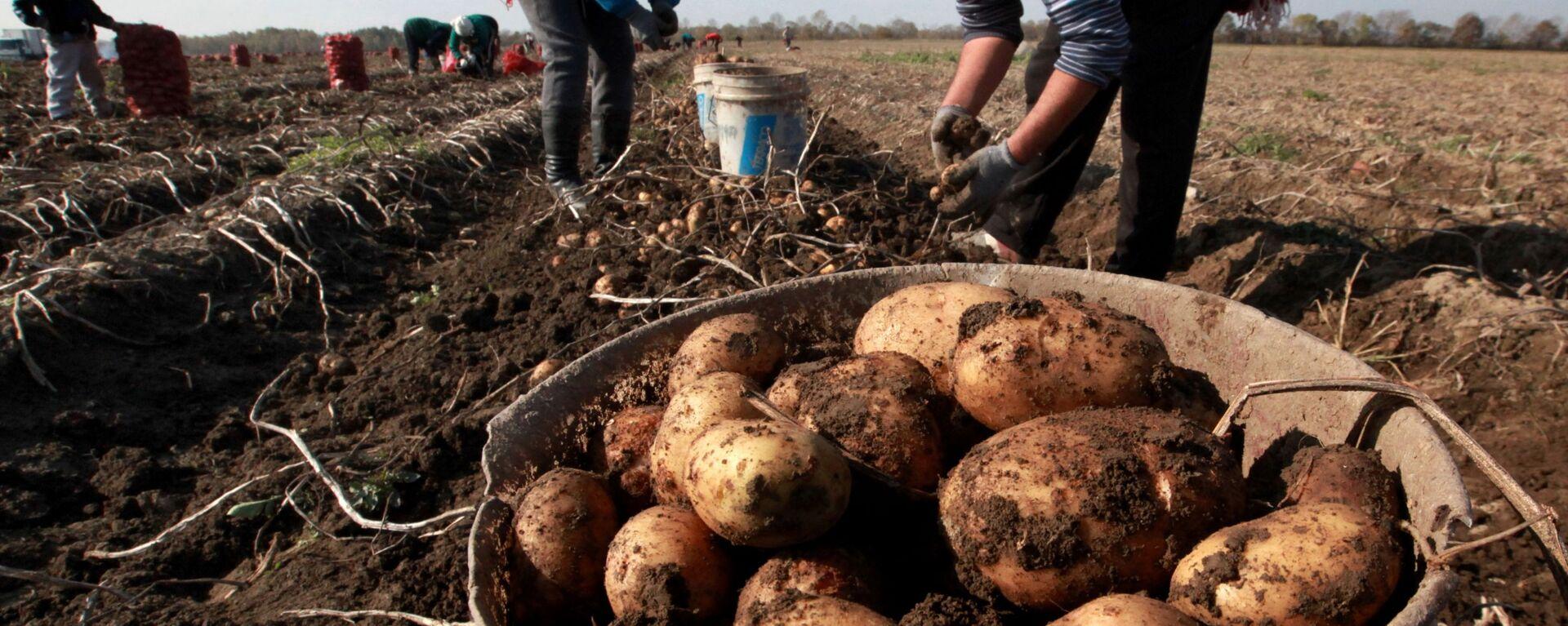 Сезонные рабочие собирают урожай картофеля в фермерском хозяйстве  - Sputnik Тоҷикистон, 1920, 20.09.2021