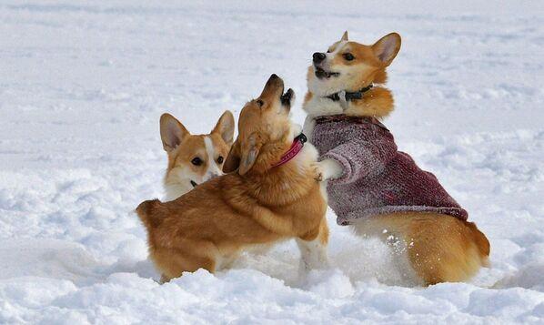 Корги играются на снегу - Sputnik Таджикистан