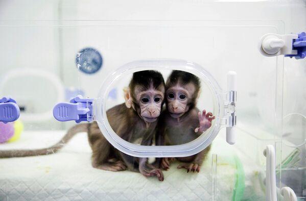 Клонированные обезьяны в лаборатории исследования приматов выведены Китайской академией наук в 2018 году - Sputnik Таджикистан