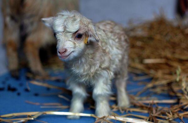 В 2012 году индийские ученые создали клон редкой кашмирской горной козы, ее назвали Нури - Sputnik Таджикистан