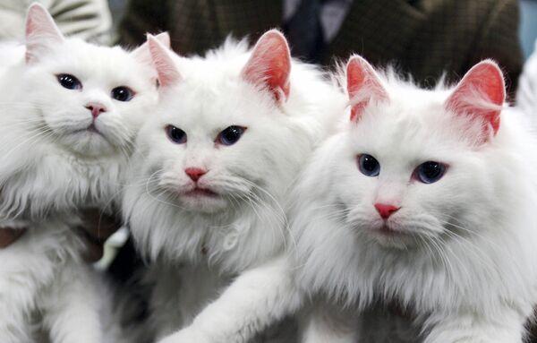 Из этих красавиц две – клонированные (в центре и справа). Их вывели в Южной Корее, причем манипуляции с генами, отвечающими за выработку флуоресцентного белка привели к тому, что под воздействием ультрафиолета животные светились красным цветом - Sputnik Таджикистан