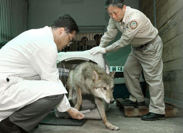 Волчица редкого исчезающего вида клонирована в 2005 году в Южной Корее - Sputnik Таджикистан