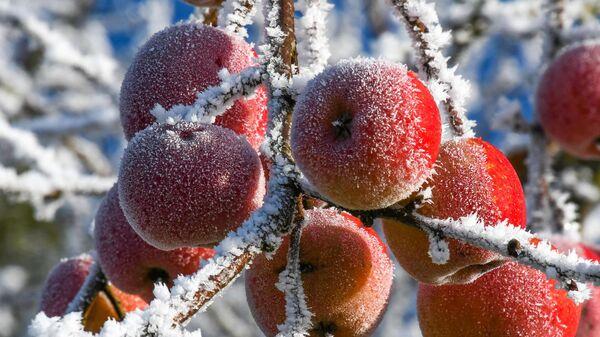 Замерзшие яблоки, архивное фото - Sputnik Тоҷикистон