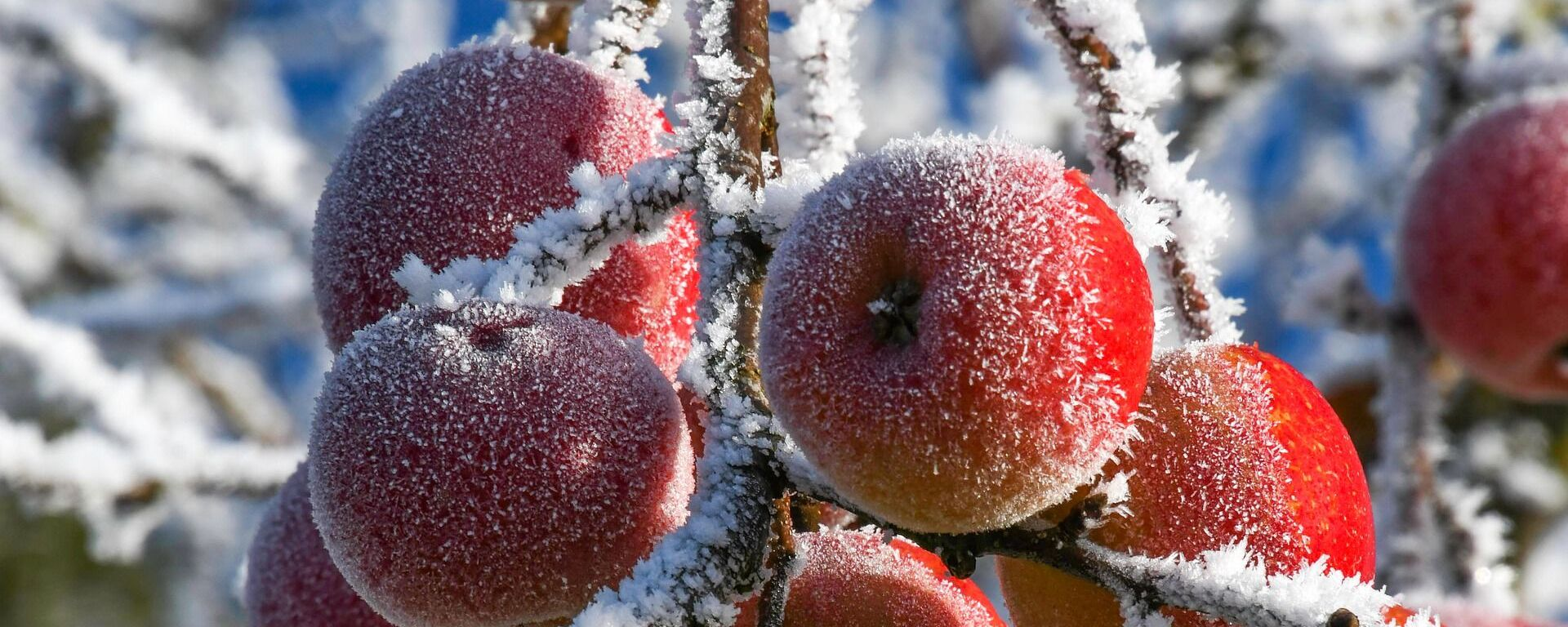 Замерзшие яблоки, архивное фото - Sputnik Тоҷикистон, 1920, 25.02.2021