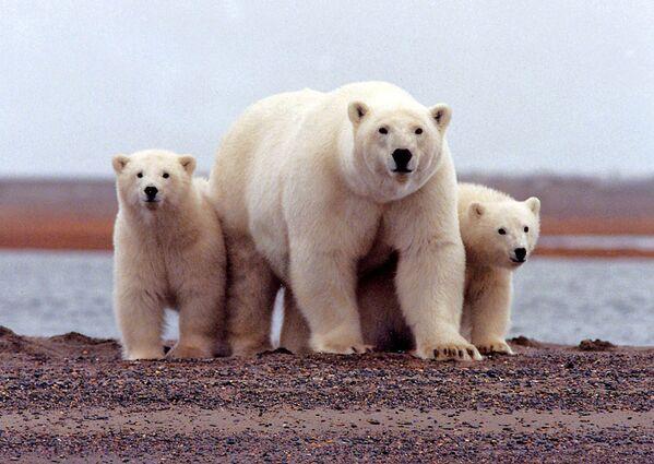 Белая медведица с детенышами в Арктическом национальном заповеднике дикой природы на Аляске - Sputnik Таджикистан