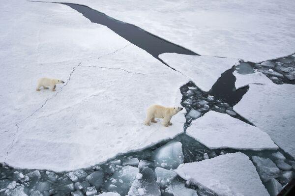 Белая медведица с медвежонком в районе архипелага Земля Франца Иосифа в Баренцевом море - Sputnik Таджикистан