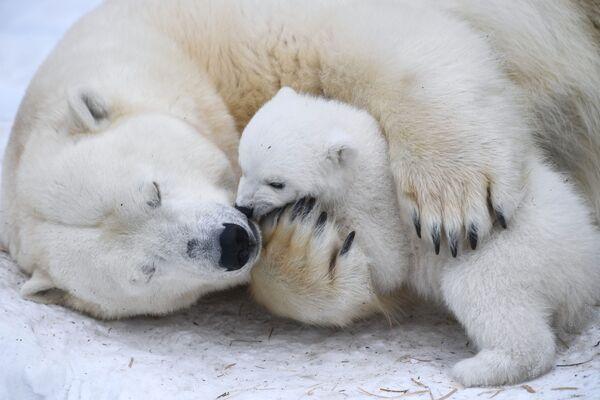 Белая медведица Герда с медвежонком, родившимся 11 декабря 2018 года, в вольере Новосибирского зоопарка - Sputnik Таджикистан