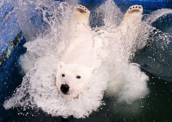 Белая медведица Урсула прыгает в бассейн в красноярском зоопарке Роев ручей. В Роев Ручей Урсула попала в 2018 году. Осенью ее заметили полярники. Осиротелый медвежонок скитался по улицам Таймырского поселка Диксон и мог погибнуть. - Sputnik Таджикистан