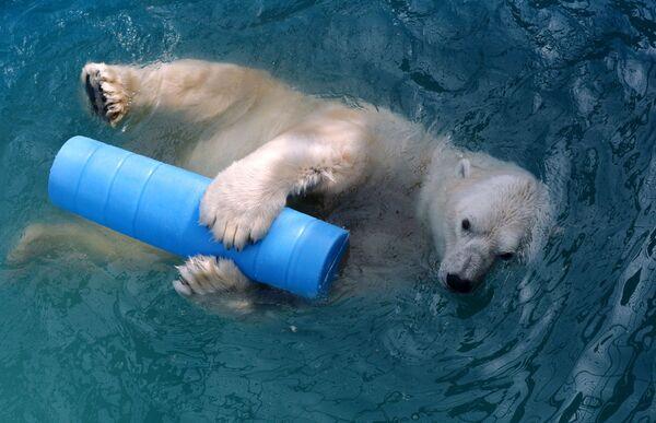 14-летний белый медведь Феликс, найденный в 2006 году на научном стационаре острова Врангеля осиротевшим детёнышем, купается в бассейне в парке флоры и фауны Роев ручей в Красноярске. - Sputnik Таджикистан