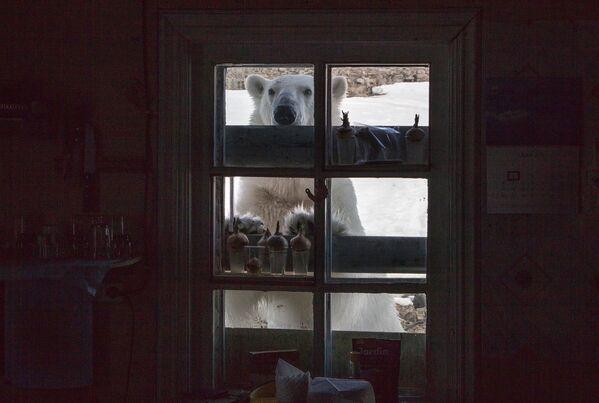 Белый медведь на территории полярной станции на берегу бухты Тихая на острове Гукера архипелага Земля Франца-Иосифа - Sputnik Таджикистан