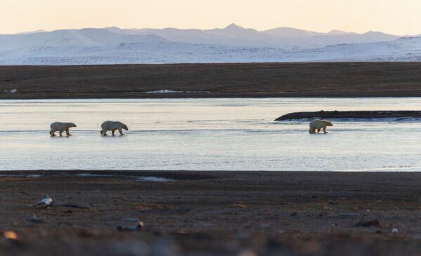 Белые медведи у села Рыркайпий в Иультинском районе Чукотского автономного округа России. Около 50 белых медведей собрались у чукотского села из-за мертвого кита - Sputnik Таджикистан