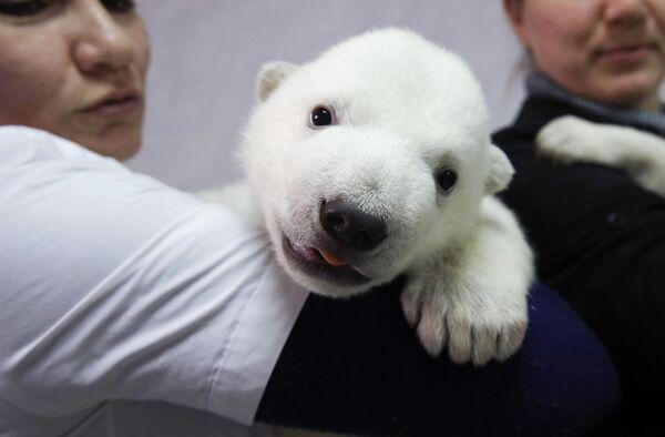 Детеныш белого медведя в сафари-парке Геленджика. Медвежата родились 7 января 2021 года. Медведица отказалась от своих детенышей. Их забрали сотрудники парка. Сейчас медвежата чувствуют себя отлично - Sputnik Таджикистан