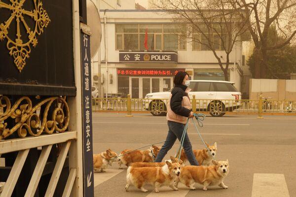 Даже в песчаную бурю нужно выгуливать собак, хотя им это, по всей видимости, не нравится - Sputnik Таджикистан