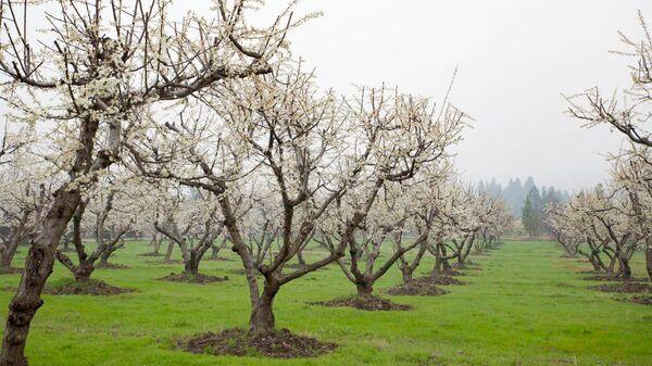 Цветение деревьев в национальном саду в Душанбе - Sputnik Тоҷикистон