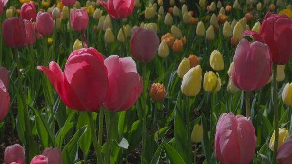 Цветочная лирика: фестиваль тюльпанов в Санкт-Петербурге  - Sputnik Таджикистан