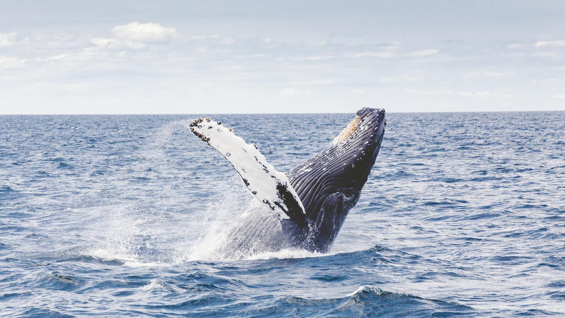 Горбатый кит - Sputnik Таджикистан, 1920, 12.06.2021