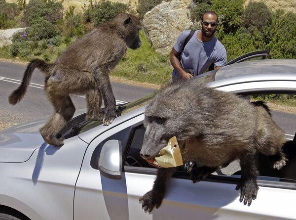 Бабуины захватили автомобиль туристов в Кейптауне в Южной Африке. - Sputnik Таджикистан