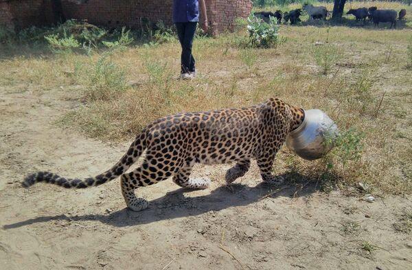 Леопард с металлическим горшком на голове после попытки попить воды в Индии. - Sputnik Таджикистан