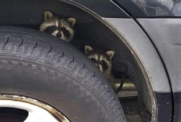 Еноты прячутся от полицейских за колесом автомобиля в американском штате Нью-Гэмпшир. - Sputnik Таджикистан