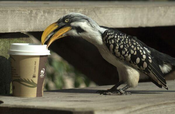 Птица-носорог изучает чашку с кофе в Вене. - Sputnik Таджикистан