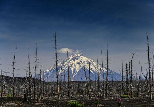 Мертвый лес - это обширная территория у подножия гиганта, засыпанная пеплом и лавой после извержения 1975-го. Тогда стихия за мгновение уничтожила деревья и выжгла траву. Остались только самые крепкие растения с толстыми стволами. - Sputnik Таджикистан