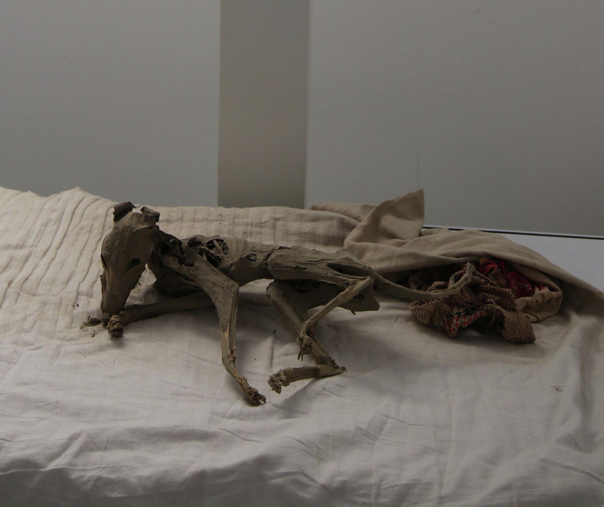 Останки мумифицированной собаки из Хисорака - Sputnik Таджикистан, 1920, 09.08.2021