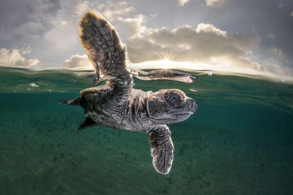 Бисса несколько минут от роду, впервые поплыла. Представитель этого вида морских черепах появился из яйца всего за несколько минут до снимка с примерно сотней своих братьев и сестер. Фото было сделано в Новой Гвинее. - Sputnik Таджикистан