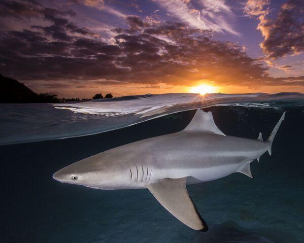 Одинокая черноперая рифовая акула демонстрирует свой откушенный спинной плавник на фоне заходящего солнца в Муреа, Французская Полинезия. - Sputnik Таджикистан