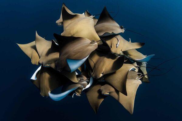 Редкая встреча с группой скатов на рифе Нингалу, Западная Австралия. - Sputnik Таджикистан