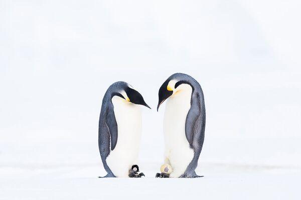 Пара императорских пингвинов с потомством. - Sputnik Таджикистан