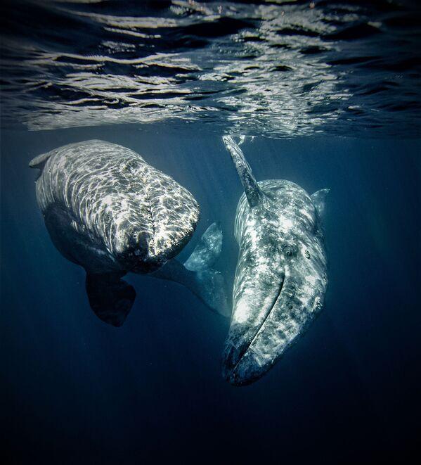 Два серых кита будто бы позируют перед камерой. Нижняя Калифорния, Мексика. - Sputnik Таджикистан
