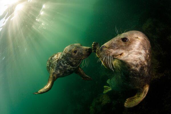 Игривые серые тюлени - вид, охраняемый в Великобритании на протяжении десятилетий в соответствии с Законом о сохранении тюленей 1970 года. Острова Фарн, Соединенное Королевство. - Sputnik Таджикистан