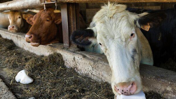 Коровы на ферме. Архивное фото - Sputnik Таджикистан