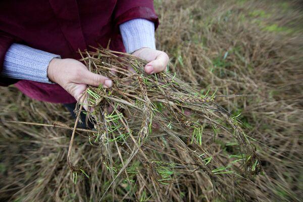 Колосья пшеницы. Архивное фото - Sputnik Таджикистан