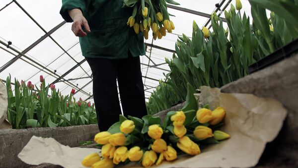 Срез тюльпанов в агрохозяйстве. Архивное фото - Sputnik Таджикистан