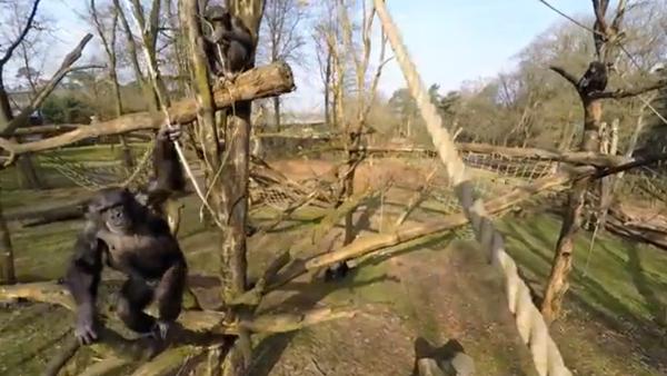 Шимпанзе в одном из зоопарков Нидерландов - Sputnik Таджикистан
