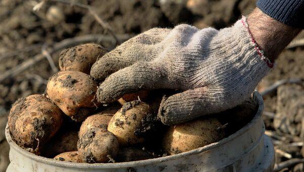 Сбор урожая картофеля. Архивное фото - Sputnik Таджикистан