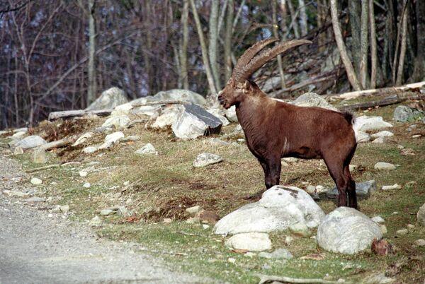 Горный баран. Архивное фото - Sputnik Таджикистан