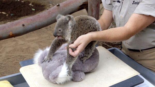 Малыша коалы успокаивали плюшевым медведем во время взвешивания в зоопарке - Sputnik Таджикистан